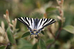 A Scarce Swallowtail (roger_forster) Tags: scarce swallowtail butterfly insect wild iphiclidespodalirius riaño castileandleon spain picosdeeuropa