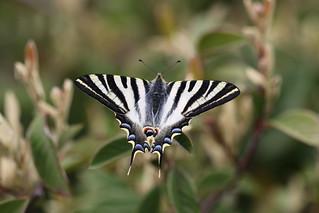 A Scarce Swallowtail