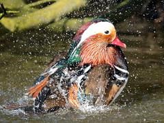 mandarijneend blijdorp JN6A1506 (joankok) Tags: dier duck eend animal vogel bird blijdorp mandarijneend manderinduck