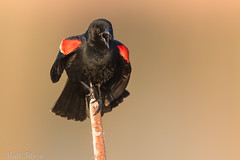 Red-winged Blackbird (Matt F.) Tags: redwinged blackbird redwingedblackbird