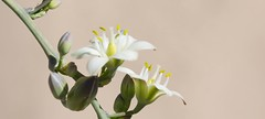 Open to the Sun (harefoot1066) Tags: asparagaceae agavoideae hesperaloe hesperaloefunifera gianthesperaloe