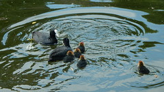 Cute little coots (John Steedman) Tags: coots coot bird birds london uk unitedkingdom england イングランド 英格兰 greatbritain grandebretagne grossbritannien 大不列顛島 グレートブリテン島 英國 イギリス ロンドン 伦敦