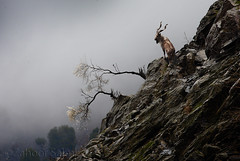 Markhor (Zahoor-Salmi) Tags: zahoorsalmi salmi wildlife pakistan wwf nature natural canon birds watch animals bbc flickr google discovery chanals tv lens camera 7d mark 2 beutty photo macro action walpapers bhalwal punjab