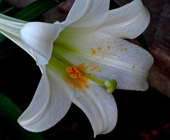 Beautiful Easter Lily (Explore #121, May 12, 2017) . (IRENE - Glorious Spring) Tags: beautifuleasterlily lily lilies alllilies white whiteflowers whitepetals whiteblossoms whiteblooms flowers flowerpower easterlily allflowers wonderfulnature wonderfulpetals beautifulnature garden gardenflowers outdoor outdoorscenes 1001nights magiccity