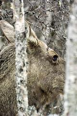 """Portrait of a killer"" (Ronny Årbekk - http://arcticphotography.no) Tags: 1nikkorvr70300f4556 70300f4556vrn1 wildlife norway elg moose wild nature animal animals portrait closeup close nordnorge norge arctic cx70300 nikon1 nikon1v3 cffaa ngc specland flickrsbest norwegen ronnyårbekk ronnyårbekkphotography northernnorway norwegian norsk norwegianphotographer fotograf visipix nikon iamnikon nikonphotography cffaawonderfulworld wonderfulworld nikkorvr70300f4556 1v3"