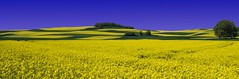 Rapeseed (stefan.lafontaine) Tags: olympus em1 zuiko pro 12 40 mm raps rapeseed germany mayen europe panorama landscape