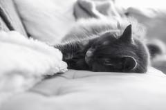 Rest and Repeat (flashfix) Tags: february042017 2017 2017inphotos nikond7000 nikon ottawa ontario canada 40mm fluffy graycat greycat fyero cat feline ragdoll ragamuffin nebelung couch indoor portrait pillows blackandwhite monochrome kitty caturday