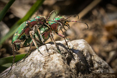 Cicindèles champêtres (cicindela campestris) (Dany-de-Nice) Tags: macro nature animal insecte insect insecta coleoptère colopteran coleptera cicindèlechampêtre cicindelacampestris 6d 100mm