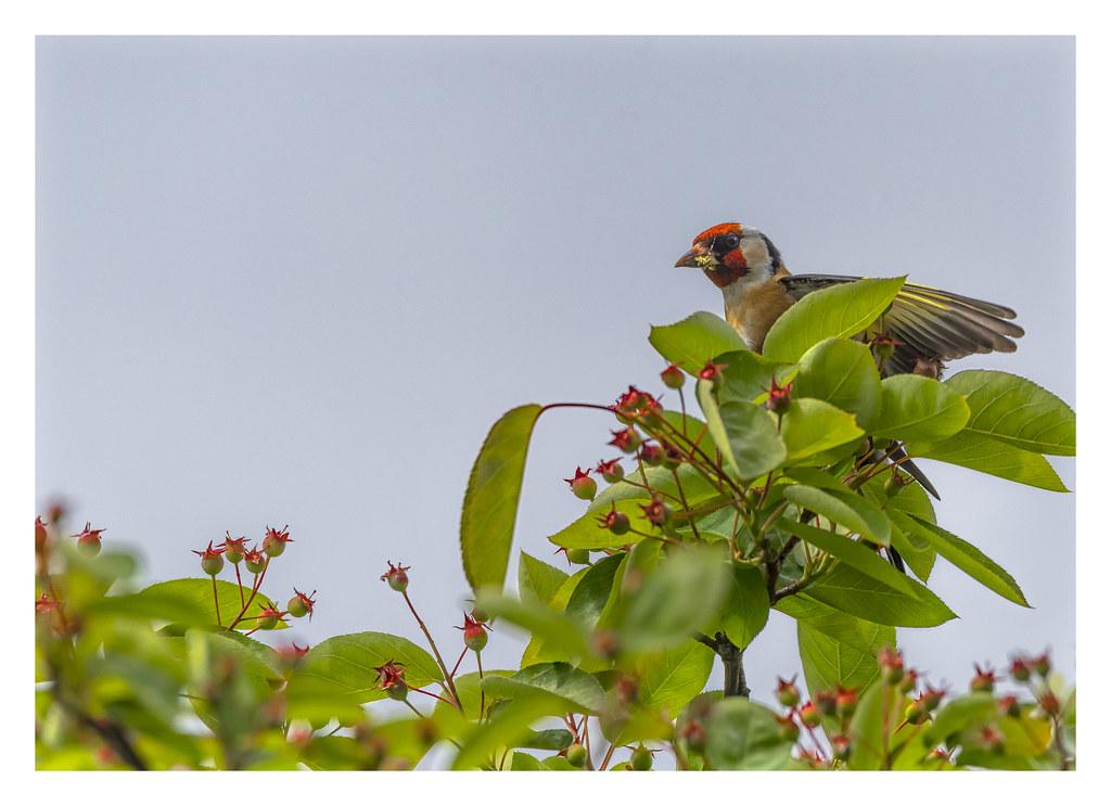 The world 39 s best photos of chardonneret and oiseau for Oiseau france