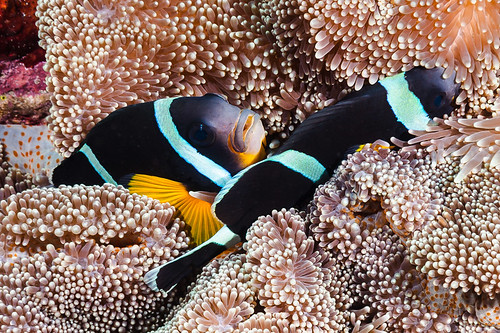 Mauritian Anemonefish - Amphiprion chrysogaster
