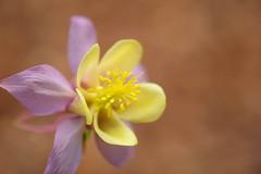 harmonie (christophe.laigle) Tags: fleur macro ancolie xf60mm nature flower fuji columbine jaune xpro2 yellow christophelaigle ngc npc