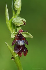 """After the rain"" Ophrys insectifera (favmark1) Tags: ophrysinsectifera flyorchid rain kentorchids wildorchids favershamorchids british orchids kent faversham"