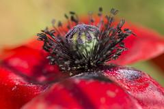 Elégance (Doriane Boilly Photographie Nature) Tags: macro coeur de coquelicot rouge elégance flowers fleurs printemps saison lens