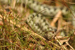 Mr Adder In The Grass (Derbyshire Harrier) Tags: adder male 2017 april spring easternmoors peakdistrict peakpark derbyshire moorland britishnativereptile snake viper britishnativesnake ngc