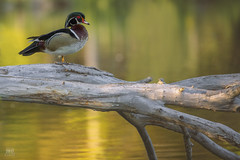 Wood duck high 2017 (TheArtOfPhotographyByLouisRuth) Tags: duckwildlifeanimalsducksgooglingsgoose bird animalplanet flickrexpert groupwithexperience animalphotographycontest canon100to400ii canoneos5dmarkiii thebestcapturesaoi~l2~ thebestcapturesaoi thegalaxygroup2018