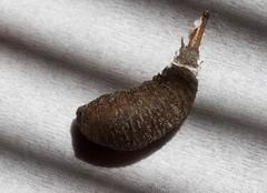 Two Makes Pupae (harefoot1066) Tags: diptera aschiza syrphidae syrphidpupa
