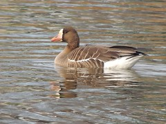 Greater White-fronted Goose (Two Cats Productions) Tags: