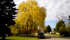 Weeping Willow - TMT (Maenette1) Tags: weepingwillow tree spring morning street car houses neighborhood menominee uppermichigan treemendoustuesday flickr365 thebestyellow 52weeksofphotographyweek22