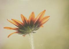 Reach (Lori Bote) Tags: wildflower rudbeckia rudbeckiahirta ruralfinds flower petals bokeh softness spring macro macrophotography focus focalpoint floralimage