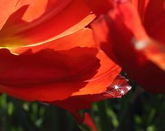 Tears of Joy (Golden Ginkgo) Tags: tulips sunburst closeup red raindrops nature outdoors