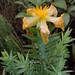 San Ignacio - Unidentified Flower