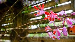DSCF4380.jpg (ser_is_snarkish) Tags: cuba orchids