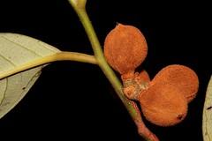 Myristica globosa subsp. muelleri (andreas lambrianides) Tags: myristicaglobosasubspmuelleri myristicaceae myristicamuelleri nutmeg queenslandnutmeg australianflora australiannativeplants australianrainforests australianrainforestplants australianrainforestfruitsandseeds australianrainforestfruits australianrainforestseeds arffs brownarffs arfp qrfp cyrfp mesophyllforest notophyllvineforest vinearf