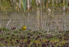 9Q6A5397 (2) (Alinbidford) Tags: alinbidford alancurtis brandonmarsh greyheron greylaggoose snipe moorhen yellowwagtail