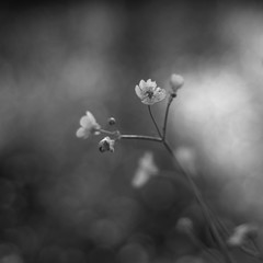 buttercups (ΞSSΞ®®Ξ) Tags: ξssξ®®ξ pentax k5 bokeh smcpentaxm50mmf17 italy spring 2017 plant outdoor depthoffield blossom blackandwhite monochrome light fabriano appennini nature flowers meadow focus macro flower garden buttercup marche
