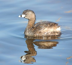 Pied-billed Grebe (Two Cats Productions) Tags: