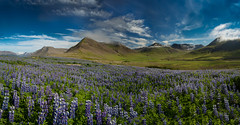 Lushness of Iceland - 'Valley of Lupins' (www.alexharbige.com) Tags: purple iceland pano lupins mountain flowers lush