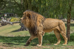 Izu the Magnificent (ToddLahman) Tags: izuthemagnificent izu lion lions lioncamp sandiegozoosafaripark safaripark canon7dmkii canon100400 canon outdoors mammal closeup beautiful escondido