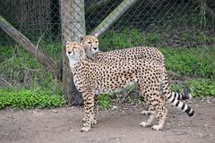 Sudan Cheetah (Acinonyx jubatus soemmeringii) (Seventh Heaven Photography) Tags: cheetah cat wild wildlife animal nikond5200 acinonyxjubatussoemmeringii acinonyx jubatus soemmeringii felinae carnivorous carnivore mammal