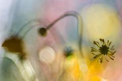 Magie primaverili (bresciano.carla) Tags: trioplan 100 mm pentax spring colors flower spronglight bokeh pentaxart bokehwhores