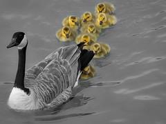 P5110028.jpg (caleb.lee) Tags: 🐣 goose geese babies canadagoose calgary