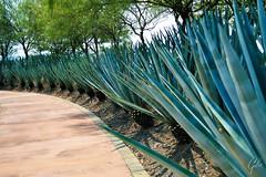 JARDINES DE MEXICO (fco_galan34) Tags: jardines mexico naturaleza natural morelos paisajismo ecosistemas flores colores plantas arboles agave cactaceas