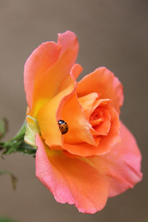 The harlequin ladybug and the rose.