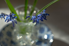 Little Blue Flowers (Captured Heart) Tags: blueflowers scillasiberica bokeh sparkle