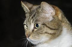 Razul by Jupiter-11 (Arne Kuilman) Tags: jupiter11 lens 135mmf4 russian strobe flash garden razul cat kat feline sonnardesign handheld sb800 manualfocus
