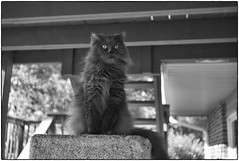 Her Majesty Atop The Summer Palace, May 14, 2017 (Maggie Osterberg) Tags: leica m8 leicasummaron3535 maggieo lincoln nebraska cat scooter bw blackwhite silverefexpro2