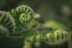Ancient forest (Hanna Tor) Tags: macromonday green forest plant woods intothewoods hannator grass nature wood fern spiral texture beauty closeup detail explore
