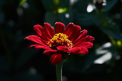 ML_170513_6 (alfrd p) Tags: nature flora flowers plants zinnia mountlofty botanic garden