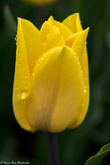 Beautiful yellow tulipwith water drips (2AnNa3) Tags: druppel water waterdruppel geletulp tulp geel drips waterdrip yellow tulip
