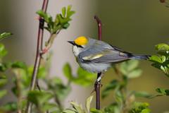 Brewster's Warbler (Jesse_in_CT) Tags: brewsterswarbler nikon200500mm warbler bluewingedwarbler goldenwingedwarbler