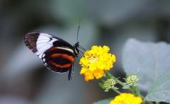 DSC04850 (Fotofreaky2013 (BUSY)) Tags: vlinder butterfly orchideeënhoeve luttelgeest vlindertuin