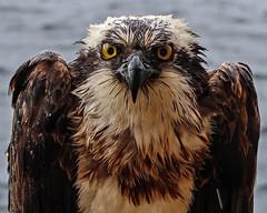 Wild Osprey in the rain (Craig Hannah) Tags: osprey offshore oil gas rig platform wildlife nature bird craighannah northsea scotland uk
