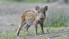 Humbug (KHR Images) Tags: wildboar wild boar piglet humbug youngster juvenile wildlife nature forestofdean gloucestershire nikon d500 kevinrobson khrimages