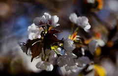 flower 1188 (kaifudo) Tags: sapporo hokkaido japan nikon d810 sigmaapomacro150mmf28 sigma 150mm macro 北海道 札幌 北大植物園 botanicalgarden 桜 サクラ チシマザクラ 千島桜 春 flower sakura