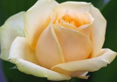 Peach Rose (bluehazyjunem) Tags: peachrose pentaxk70 tamron90