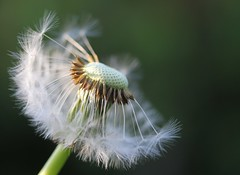 Waiting For A Breeze (MoMontyMisty) Tags: dandelion seedhead seeds blow fragile delicate waiting weed wildflower garden spring springtime